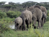 Herd of Elephants in Single File after Drinking from a Freshwater Pool, Serengeti National Park Photographic Print by Nigel Pavitt