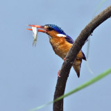 Katavi National Park, A Malachite Kingfisher with a Small Fish Caught in the Katuma River, Tanzania Photographie par Nigel Pavitt