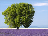 Tree in a Lavender Field, Valensole Plateau, Provence, France Photographic Print by Nadia Isakova