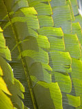 Plants and Vegetation of the Crocker Range Rainforest in Sabah, Borneo Photographic Print by Mark Hannaford