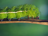Close Up of Caterpillar, Rio Upano, Moreno Santiago Province, Ecuador Photographic Print by Paul Harris