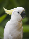 Queensland, Brisbane, Sulphur-Crested Cockatoo, Australia Photographic Print by Andrew Watson