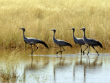 Four Blue Cranes Cross a Flooded Pan on the Edge of the Etosha National Park Photographic Print by Nigel Pavitt