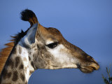 Detail of Giraffe Face, South Africa Photographic Print by Mark Hannaford