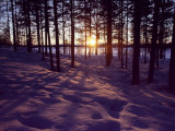 Sunset in Pine Forest in Jekkele, Sweden Photographic Print by Mark Hannaford