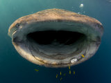 Djibouti, Bay of Tadjourah, A Whale Shark Swims Towards to Camera in the Bay of Tadjourah Photographic Print by Fergus Kennedy