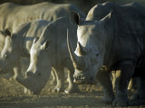 Damaraland, White Rhinoceros, Namibia Impresso fotogrfica por Mark Hannaford