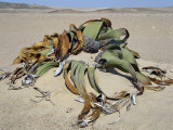 Welwitschia Mirabilis Plant Grows in Sandy Soil in Namib-Naukluft Park, East of Swakopmund, Namibia Photographic Print by Nigel Pavitt