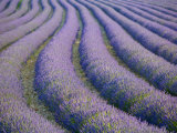 Lavender Field, Provence-Alpes-Cote D&#39;Azur, France Photographic Print by Doug Pearson