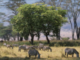 Common Zebra Browse on Grass in Lerai Forest on Crater Floor with Trees Behind Photographic Print by John Warburton-lee