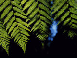 Fern Fronds, Northern Patagonia, Chile Photographic Print by John Warburton-lee