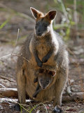 Victoria, A Wallaby and Her Joey on Phillip Island, Australia Photographic Print by Nigel Pavitt