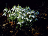 Snowdrops, Lincolnshire, England Photographic Print by John Warburton-lee