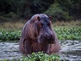 Zambezi River, Hippos Sitting in the Zambezi River, Zambia Reprodukcja zdjęcia autor John Warburton-lee