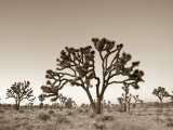 California, Joshua Tree National Park, Joshua Trees, USA Fotografisk tryk af Michele Falzone