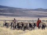 Maasai Men, Spears in Hand, Drive their Laden Donkeys across Pristine Volcanic Grassland Photographic Print by Nigel Pavitt