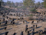 South Luangwa, Aerial View of Large Herd of Buffalo Stretched Out across the Open Plain,, Zambia Photographic Print by John Warburton-lee
