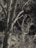 Utah, Zion National Park, Bare Silver Trees, Temple of Sinawava Area, Winter, USA Photographic Print by Walter Bibikow