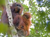 Wild Orangutans in Arboral Settings in Rainforest Near Sepilok, Borneo Photographic Print by Mark Hannaford