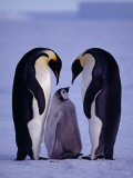 Weddell Sea, Riiser-Larsen Ice Shelf, Emperor Penguins and Chick, Antarctica Photographic Print by Allan White