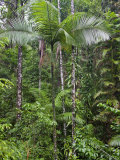 Queensland,, the Beautiful and Very Diverse Daintree Rainforest, North Queensland, Australia Photographic Print by Nigel Pavitt