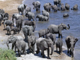 Large Herd of Elephants Drink at the Chobe River, Botswana Photographic Print by Nigel Pavitt