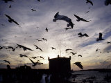 Hungry Seagulls Silhouetted Againt the Sunset in the Harbour at Essaouira, Morocco Photographic Print by Fergus Kennedy