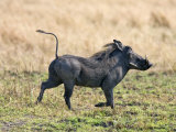 Katavi National Park, A Warthog Runs with its Tail in the Air, Tanzania Photographic Print by Nigel Pavitt