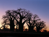 Dawn Sky Silhouettes from Grove of Ancient Baobab Trees, known as Baines' Baobabs, Botswana Photographic Print by Nigel Pavitt