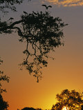 South Luangwa National Park, Yellowbilled Storks Return to Colony at Sunset, Zambia Photographic Print by John Warburton-lee