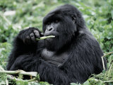 Male Mountain Gorilla, known as a 'silverback' Feeds in the Volcanoes National Park, Rwanda Photographic Print by Nigel Pavitt