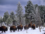 Idaho, Yellowstone National Park, Bison are the Largest Mammals in Yellowstone National Park, USA Photographic Print by Paul Harris