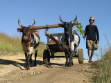 Man Drives His Draught Oxen Pulling a Cart Along a Rural Road Photographic Print by Nigel Pavitt