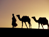 Berber Tribesman Leads His Two Camels Along the Top of Sand Dune in the Erg Chegaga  in the Sahara