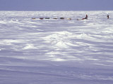 Musher and Dog Team on Frozen Chukchi Sea, Alaska, USA Photographic Print by John Warburton-lee