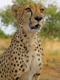 Erongo Region, Damarland, A Cheetah, Namibia Photographic Print by Mark Hannaford