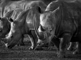 White Rhinoceros or Square-Lipped Rhinoceros Which Is One of the Few Remaining Megafauna Species Photographic Print by Mark Hannaford