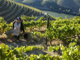 A Portuguese Woman Picks Grapes During the September Wine Harvest in Douro Valley, Portugal Photographic Print by Camilla Watson