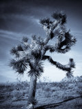 California, Joshua Tree National Park, Joshua Tree, Yucca Brevifolia, in Hidden Valley, USA Photographic Print by Walter Bibikow