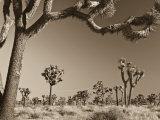California, Joshua Tree National Park, Joshua Trees, USA Reproduction photographique par Michele Falzone