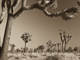 California, Joshua Tree National Park, Joshua Trees, USA Photographic Print by Michele Falzone