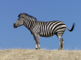 Burchell&#39;s Zebra, Okavango Delta, Botswana Photographic Print by Nigel Pavitt