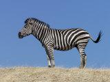 Burchell's Zebra, Okavango Delta, Botswana Photographic Print by Nigel Pavitt