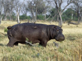 Hippo, with Red-Billed Oxpeckers (Tick Birds), Grazes, Okavango Swamp Edge, Moremi Wildlife Reserve Photographic Print by Nigel Pavitt