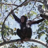 Chimpanzee Sitting in the Forest Canopy, Mahale Mountains, Eastern Shores of Lake Tanganyika Lámina fotográfica por Nigel Pavitt