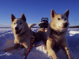 Sled Dogs 'Hiko' and 'Mika', Resting in the Snow with Sled in the Background Photographic Print by Mark Hannaford