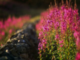 Yorkshire, Kettlewell, Fireweed Behind a Drystone Wall in Yorkshire Dales National Park, England Photographic Print by Paul Harris