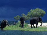 Zambezi River, Male Elephants under Stormy Clouds on the Bank of the Zambezi River, Zimbabwe Photographic Print by John Warburton-lee