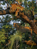 Kafue National Park, Lionesses in a Tree on the Busanga Plain, Zambia Photographic Print by John Warburton-lee