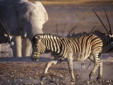 Burchells Zebra and Elephants at Waterhole Photographic Print by Mark Hannaford